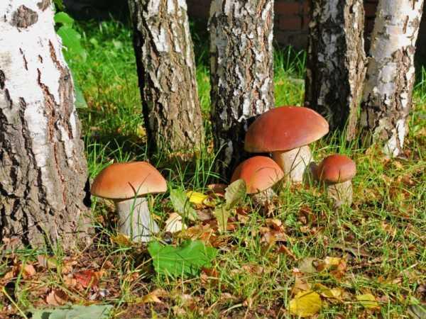 грибы горьковское направление форум